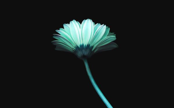 lonely-flower-dark-blue-simple-minimal-nature